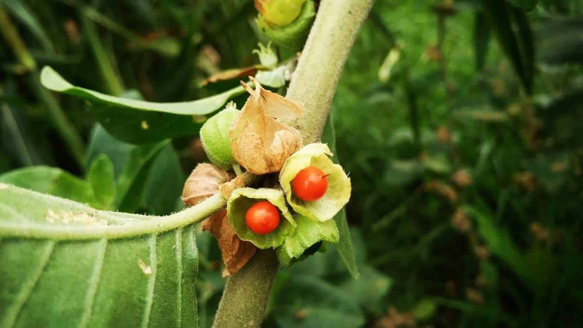 ashwagandha for anxiety